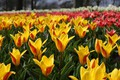Picture Park, Nature, Tulips