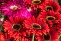 Picture red, gerbera, a lot