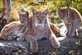 Picture the lynx, grass, stone, cats, mom, bokeh, lynx, nature, background, faces, portrait, Trinity, wildlife, Sunny, ...