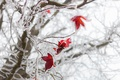 Picture winter, red, foliage, macro, frost