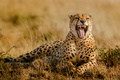 Picture grass, mouth, Cheetah, Africa