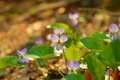 Picture Nature, Spring, Nature, Flowers, Spring, Viola tricolor