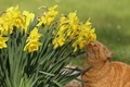 Picture daffodils, red cat, flowers, cat