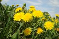 Picture mood, solar, dandelions