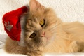Picture cat, cap, Santa, red cat, muzzle, look, cat