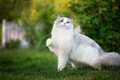 Picture cat, cutie, grass, foot, the cat, nature, blue eyes, cat, pose, white, ragdoll, lawn, greens, ...