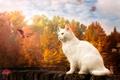 Picture autumn, cat, leaves, white cat