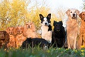 Picture dogs, group photo, a lot