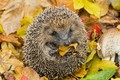 Picture leaves, autumn, needles, tangle, nature, hedgehog