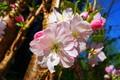 Picture the sky, macro, light, flowers, cherry, blue, branch, spring, Sakura, pink, flowering