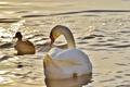 Picture duck, water, Swan, birds