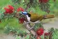 Picture Callistemon, Kaneuchi honeyeater, bird, branch, tree, flowers
