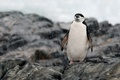 Picture relaxing, rocks, penguin, Antarctica