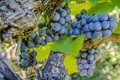 Picture bunch, grapes, harvest, berries