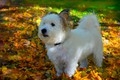 Picture Dog, Autumn, Foliage, The West highland white Terrier, Leaves, Autumn, Dog, Fall