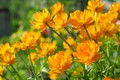 Picture flowers, nature, beauty, plants, positive, spring, may, cottage, flora, frying, yellow, perennials, globeflowers
