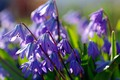 Picture macro, joy, flowers, nature, beauty, plants, spring, may, primroses, blue color, many, Scilla, cottage, flora