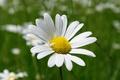 Picture Daisy, Macro, Spring, Bokeh, Spring, Flower, Macro, Bokeh