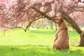 Picture dogs, grass, trees, flowers, Park, lawn, dog, spring, garden, sitting, flowering, dog, Magnolia