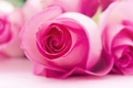 Picture macro, nature, rose, petals, Bud