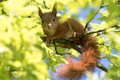 Picture branches, rodents, muzzle, foliage, blur, tree, leaves, protein, light, nimble, squirrel, wildlife, pose