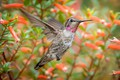 Picture flowers, Hummingbird, bird