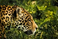 Picture face, grass, Jaguar, greens, predator, spotted, bokeh