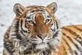 Picture look, face, wild cat, tigress