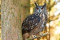 Picture look, owl, forest hunting, tree branch clock, spilled-spilled, background, nature, owl, animals, blur, wallpaper., bokeh, ...