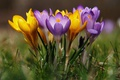 Picture spring, crocuses, saffron, bokeh