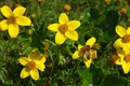 Picture OSA, Yellow flowers, Yellow flowers, Wasp