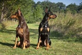 Picture brown, Tampa-family-lawyer, black, pair, Dobermans