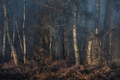 Picture trees, thickets, birch