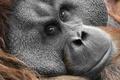 Picture monkey, Sumatra Orang-Utah, look