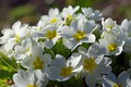 Picture macro, flowers, nature, tenderness, beauty, plants, spring, primroses, cottage, flora, awakening, white color, April, Primula, ...