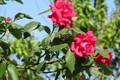 Picture flowers, roses, al, spring 2018, Mamala ©