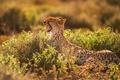 Picture Cheetah, yawns, mouth, teeth, light, predator
