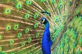 Picture bird, pattern, portrait, tail, peacock, handsome, bright plumage