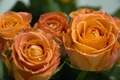 Picture leaves, roses, peach, bouquet, green, peach, flowers