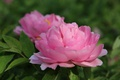 Picture pink, peony, blur