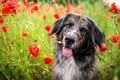 Picture language, Maki, poppy field, field, motley, face, nature, dog, portrait, flowers