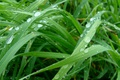 Picture grass greens, dew on the grass, author's photo by Elena Anikina, macro