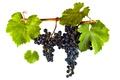 Picture vitis vinifera, wine, red wine, leaves, grapes, Merlot