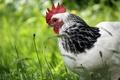 Picture grass, bird, greens, motley, home, white, nature, cock, cock, color