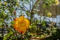 Picture rose, petals, garden, nature