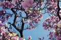 Picture the sky, tree, pink, spring, Magnolia