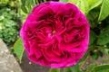 Picture Pink rose, Bokeh, Bokeh, Pink rose