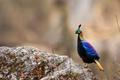 Picture bird, pheasant, Nepal, Sagarmatha national Park, Himalayan monal