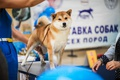 Picture red, dog, Shiba inu, shiba inu, dog show, exhibition, dog
