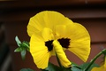 Picture Macro, Macro, Yellow flower, Viola, Yellow flower